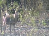 smart deer
